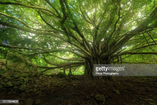 banyan tree forest near hana, maui, hawaii - banyan tree stock pictures, royalty-free photos & images