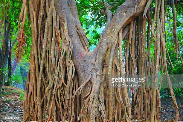 banyan tree growing in forest - banyan tree stock pictures, royalty-free photos & images