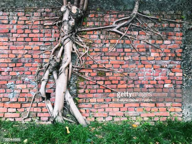 banyan tree growing on brick wall - banyan tree stock photos and pictures