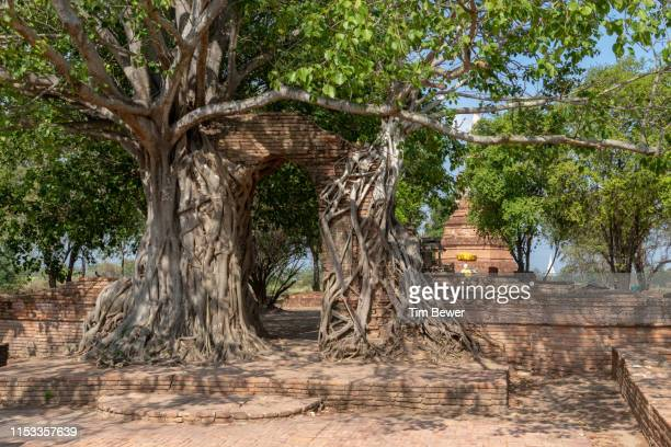 banyan tree growing on ruined ancient gate. - tim bewer stockfoto's en -beelden
