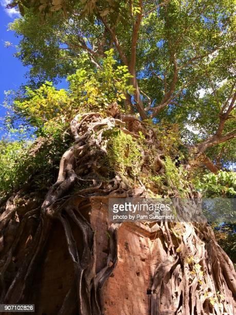 Banyan Tree Growing on Top of Brick Temple Ruins, Sambor Prei Kuk, Cambodia