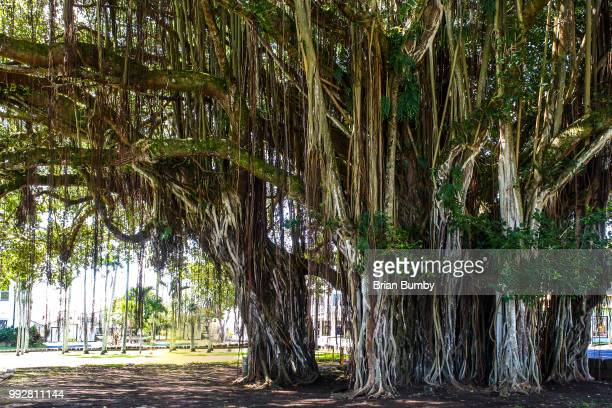 banyan tree, hilo, hawaii - banyan tree stock pictures, royalty-free photos & images