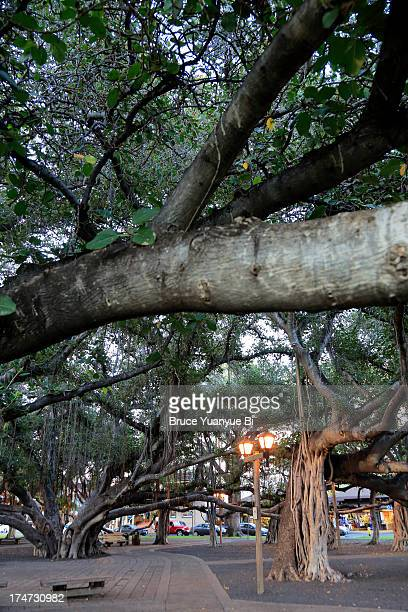 banyan tree in courthouse square - lahaina stock pictures, royalty-free photos & images