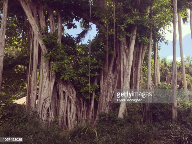banyan tree in florida - banyan tree stock pictures, royalty-free photos & images