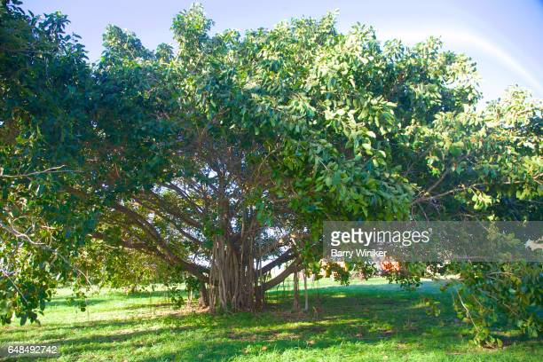 banyan tree in kahului, maui - banyan tree stock photos and pictures