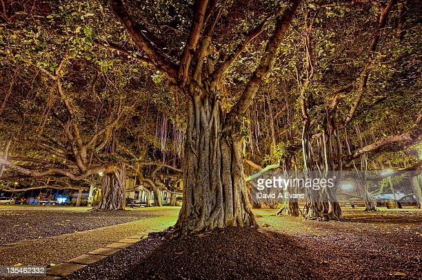 banyan tree  in lahaina - banyan tree stock photos and pictures