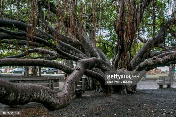 Banyan Tree in Maui, Hawaii
