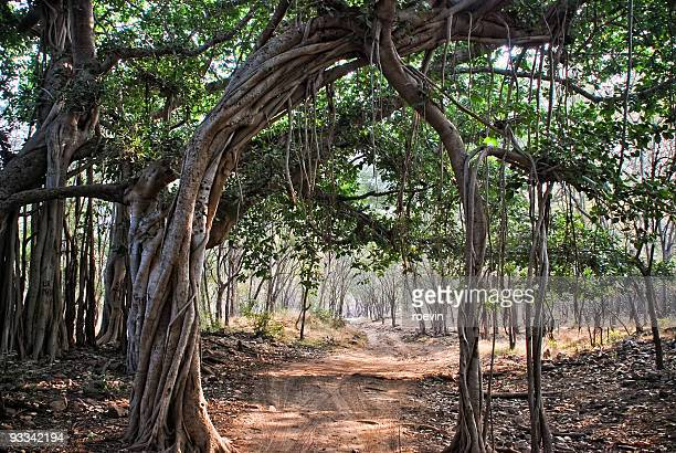 banyan tree - banyan tree stock pictures, royalty-free photos & images