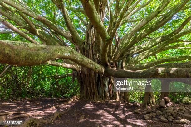 banyan tree, pipiwai trail, haleakala national park, maui, hawaii, usa - category:census-designated_places_in_honolulu_county,_hawaii stock pictures, royalty-free photos & images
