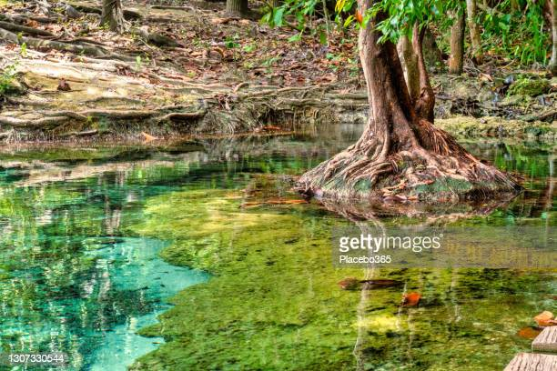banyan tree roots in jungle freshwater stream - freshwater stock pictures, royalty-free photos & images
