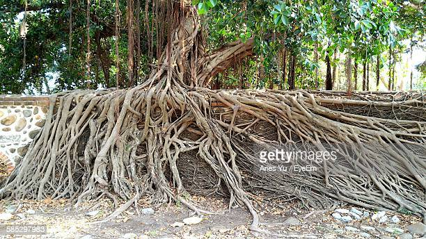 banyan tree roots on wall - banyan tree stock pictures, royalty-free photos & images