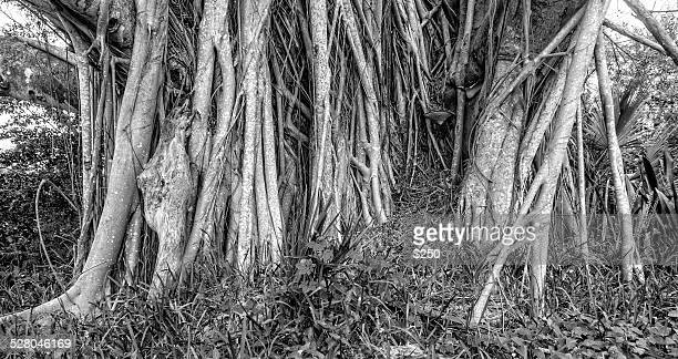banyan tree roots - vero beach stock pictures, royalty-free photos & images