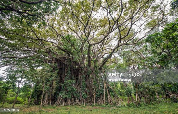 banyan tree, tanna island - banyan tree stock pictures, royalty-free photos & images
