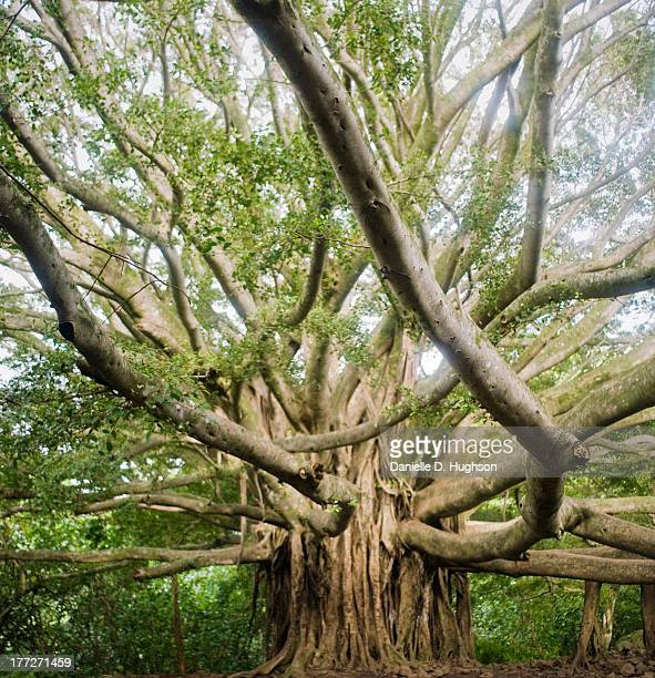 banyan tree with reaching limbs - banyan tree stock photos and pictures