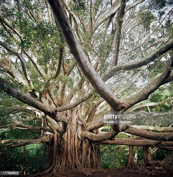 60 Top Banyan Tree Pictures, Photos and Images - Getty Images