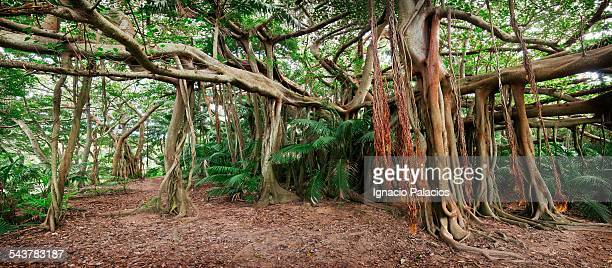 World's Best Banyan Tree Stock Pictures, Photos, and Images