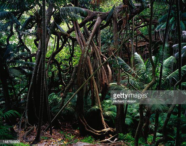Banyan trees in Valley of the Shadows.