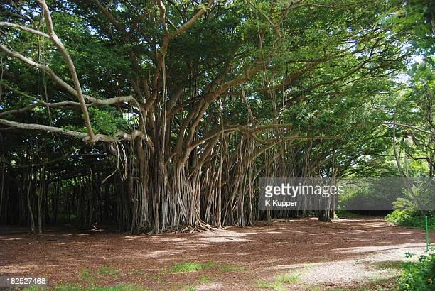 banyan trees - banyan tree stock pictures, royalty-free photos & images