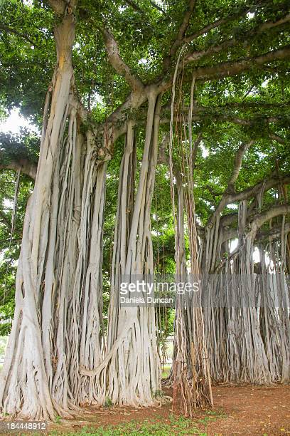 banyan trees - banyan tree stock photos and pictures