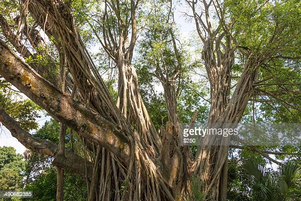 banyan trees - vero beach stock pictures, royalty-free photos & images