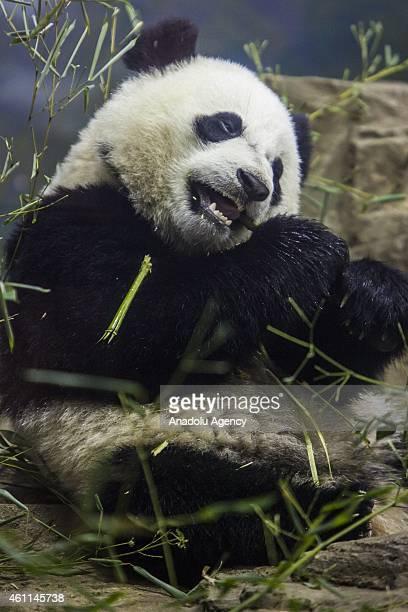 Bao Bao a Giant Panda cub eats bamboo in his enclosure at the Smithsonian National Zoo in Washington DC United States on January 07 2015