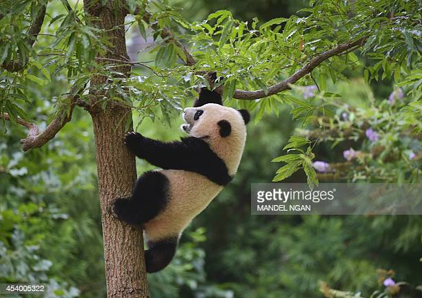 Bao Bao climbs a tree during a Zhuazhou birthday ceremony on her first birthday celebration at the National Zoo on August 23 2014 in Washington DC...