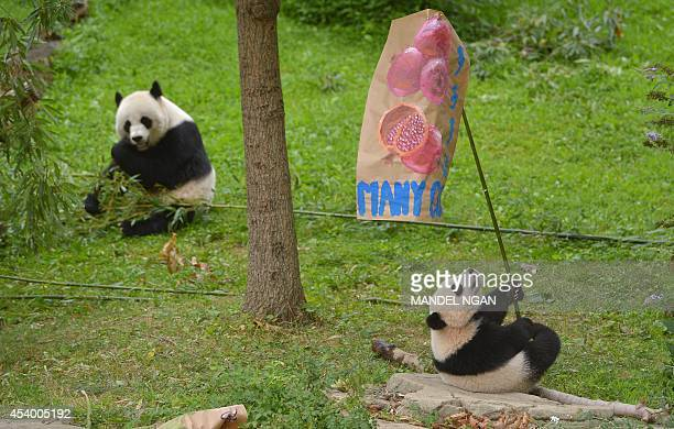 Bao Bao sits under the fertility' poster while her mother Mei Xiang eats during a Zhuazhou birthday ceremony on her first birthday celebration at the...