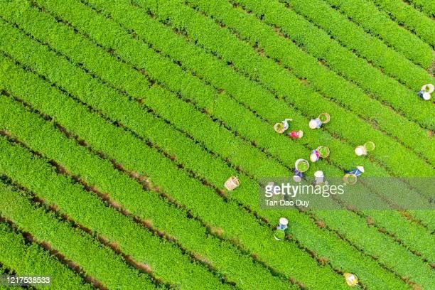 bao loc, lam dong, vietnam - tea farmers harvesting at a bao loc tea farm  (đồi chè bảo lộc) - aerial view - asia stock pictures, royalty-free photos & images