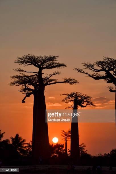 baobab alley at sunset - madagascar fotografías e imágenes de stock