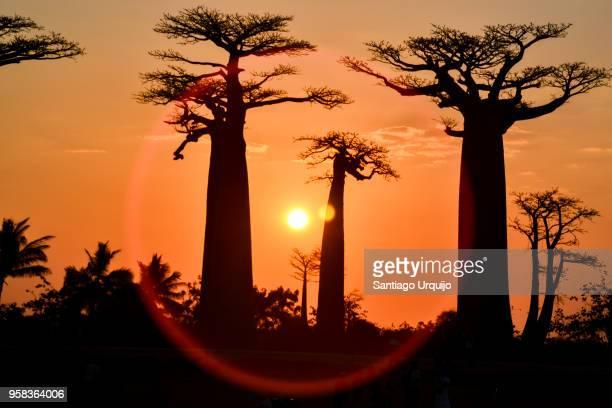 baobab alley at sunset - マダガスカル ストックフォトと画像
