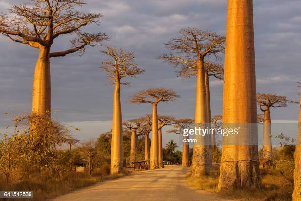 Baobab Alley in Madagascar, Africa. Beautiful and colourful landscape with baobab in background.