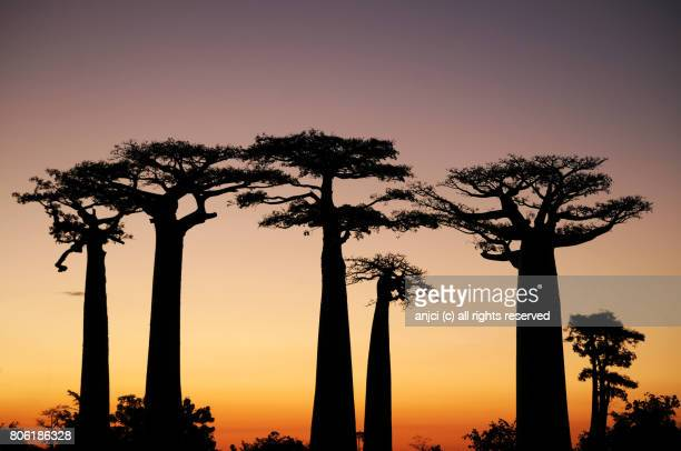 Baobab alley near Morondava / Madagascar