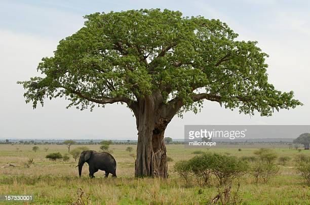 baobab and elefant - tarangire national park stock pictures, royalty-free photos & images