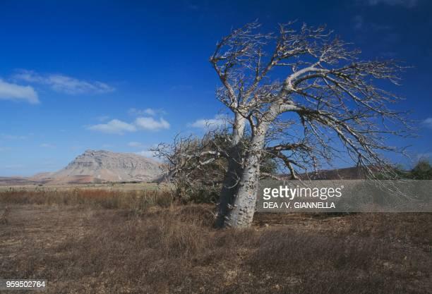 Baobab Boa Vista Island Cape Verde