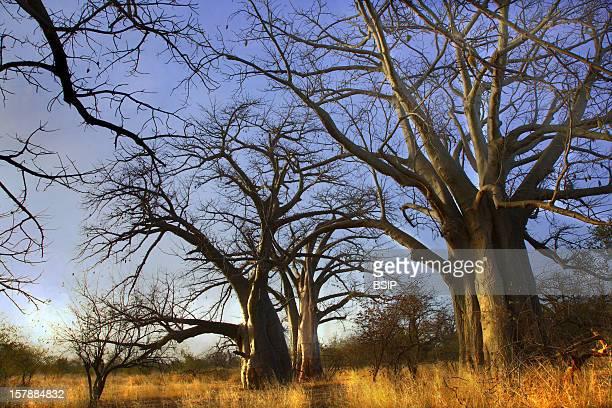 Baobab Bush Country And Baobas Senegal
