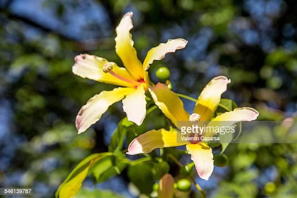 Baobab cieba speciaosa flower