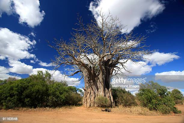baobab in kruger park, south africa - mpumalanga province stock pictures, royalty-free photos & images