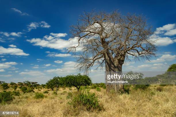 Baobab in the Savannah.