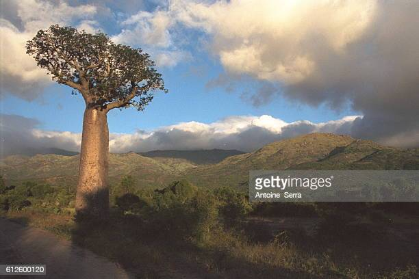 A baobab in transition forest southern Madagascar