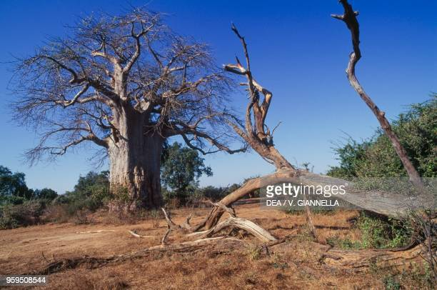A baobab Lower Zambezi National Park Zambia