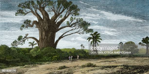 Baobab Madagascar drawing by Evremond de Berard from Travel by Ida Pfeiffer from Il Giro del mondo Journal of geography travel and costumes Volume...