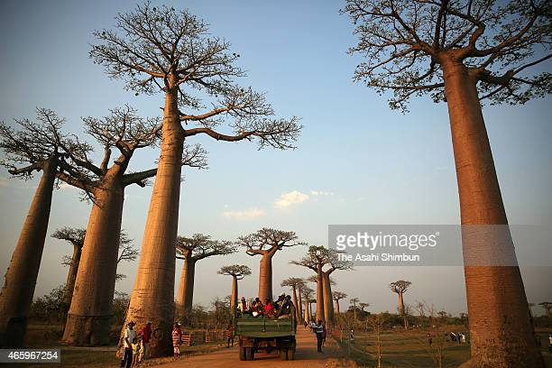 Baobab street is seen on November 6 2014 in Morondava Madagascar Forest in Madagascar has been decreasing due to population increase and slashandburn...