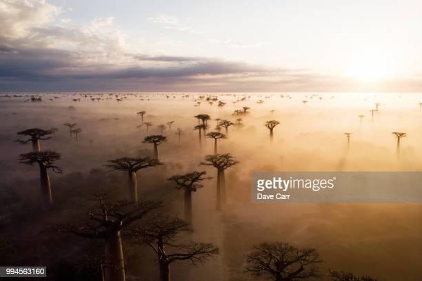 baobab sunrise - madagascar fotografías e imágenes de stock