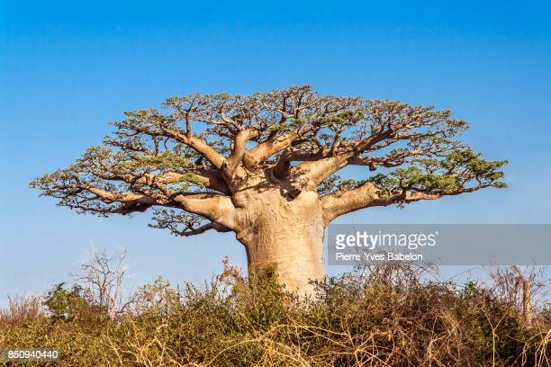 Baobab tree and savannah