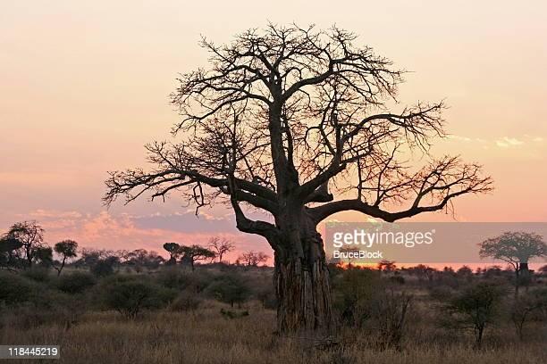 baobab tree at sunset - tarangire national park stock pictures, royalty-free photos & images