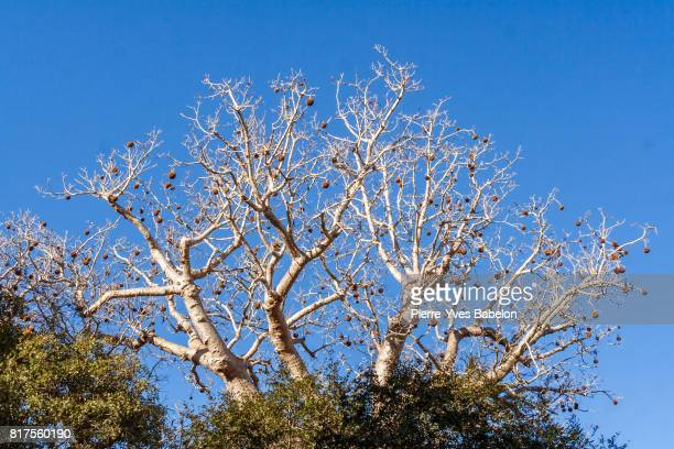 Baobab tree in fruits