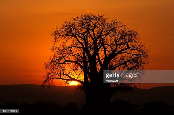 Baobab tree in silhouette at dawn Tarangire National Park Tanzania