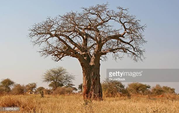 Baobab au Parc National de Tarangire