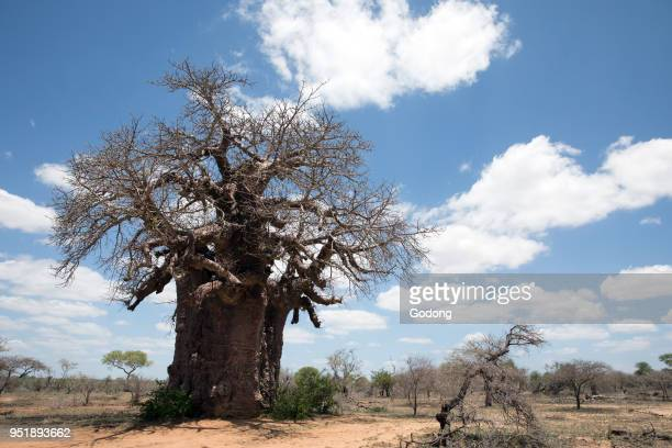 Baobab tree KeerKeer South Africa