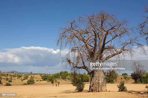 Baobab Tree (Adansonia Digitata), Lake Malawi, Malawi